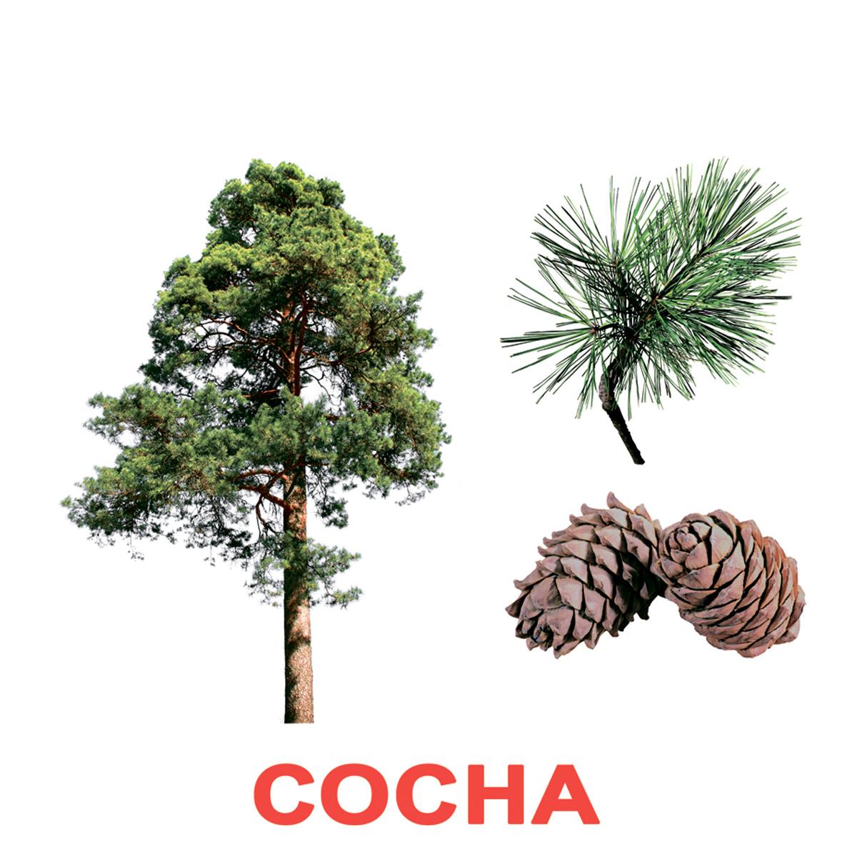 Картинка деревья и их семена береза сосна клен дуб 2